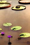 WATER LILY 143