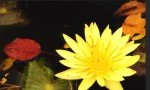 WATER LILY 23